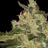 AFGHAN KUSH 3 semi femm World Of Seeds