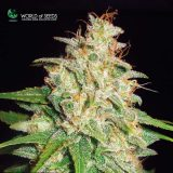 MAZAR X WHITE RHINO 3 semi femm World Of Seeds