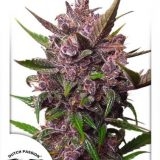 AUTOBLACKBERRY KUSH 3 semi femm Dutch Passion
