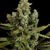 CHEESE 5 semi femm Dinafem Seeds