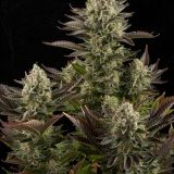 WHITE WIDOW 5 semi femm Dinafem Seeds
