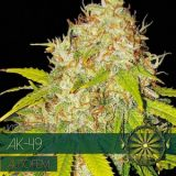 AK49 AUTO 3 semi Vision Seeds