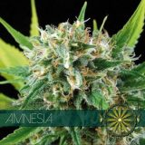 AMNESIA 10 semi femm Vision Seeds