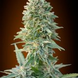 AUTO JACK HERER 1 seme femm Advanced Seeds