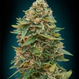 AUTO SKUNK47 1 seme femm Advanced Seeds
