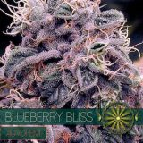 BLUEBERRY BLISS AUTO 5 semi Vision Seeds