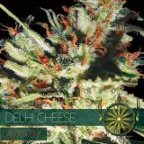 autofem-vision-seeds-delhi-cheese-500x500
