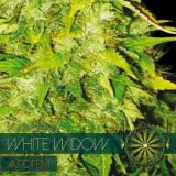 WHITE WIDOW AUTO 5 semi Vision Seeds