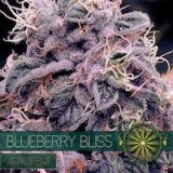BLUEBERRY BLISS AUTO 3 semi Vision Seeds