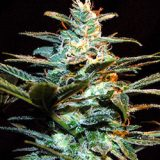 ICE COOL 3 semi femm Sweet Seeds