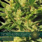 NORTHERN LIGHT AUTO 3 semi Vision Seeds