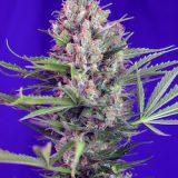 CREAM MANDARINE FAST VERSION 5 semi femm Sweet Seeds