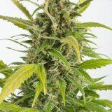 HAZE CBD AUTO 3 semi femm Dinafem Seeds