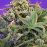 SWEET CHEESE 3 semi femm Sweet Seeds