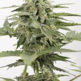INDUSTRIAL PLANT CBD AUTO 1 seme femm Dinafem Seeds