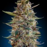 AUTO BLUE DIESEL 1 seme femm Advanced Seeds