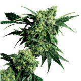mr-nice-g13-x-hash-plant-xl