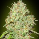 SHARK WIDOW 1 seme femm Advanced Seeds