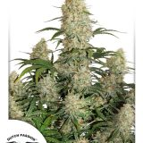 CRITICAL ORANGE PUNCH 3 semi femm Dutch Passion