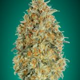 AUTO GORILLA BLUE 1 seme femm Advanced Seeds