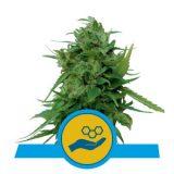 SOLOMATIC CBD AUTO 1 seme femm Royal Queen seeds