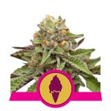 GREEN GELATO 1 seme femm Royal Queen seeds