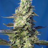 AUTO GREEN POISON XL- 3 semi femm Sweet Seeds