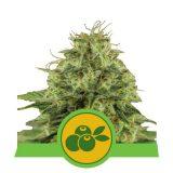 HAZE BERRY AUTO 1 seme femm Royal Queen Seeds