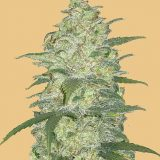ORIGINAL WHITE WIDOW AUTO- 1 seme femm Fast Bud