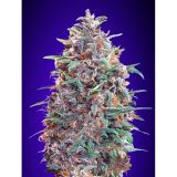 AUTO PURPLE DIESEL 1 seme femm Advanced Seeds