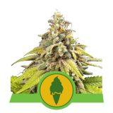 GREEN GELATO AUTO 1 seme femm Royal Queen seeds