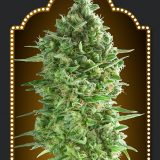 AUTO DO SI DOS COOKIES 3 semi femm 00 Seeds