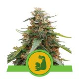 HULKBERRY AUTO 1 seme femm Royal Queen seeds
